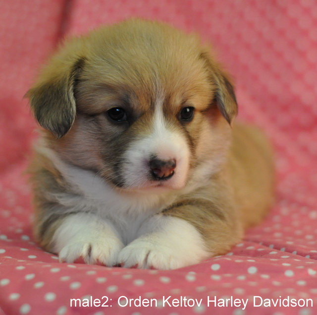 welsh corgi pembroke puppy