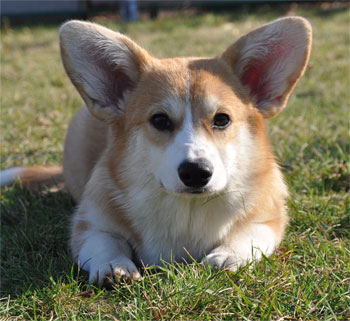 welsh corgi pemroke ears